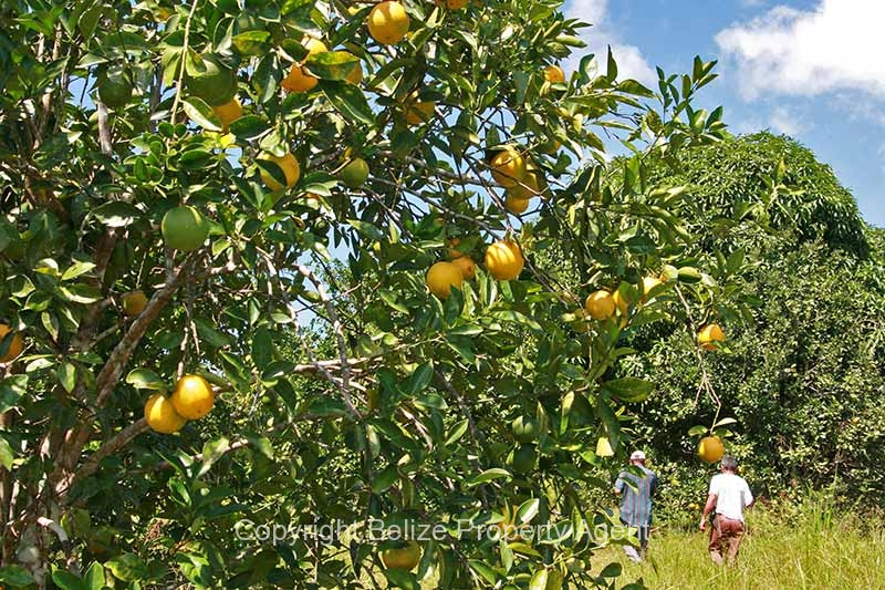 30acres-citrus-farm_11_0