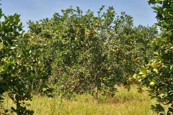 30acres-citrus-farm_10_0