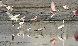 An interesting variety of shore birds taking flight at Sapodilla Lagoon, Belize