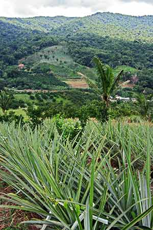 A pinapple plantation overlooking the Hummingbird Highway