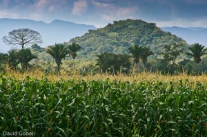 organic corn crop growing in Belize