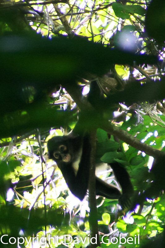 while searching for wild Belize real estate behind St. Margaret's Village we spot spyder monkeys