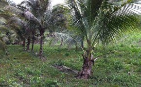 Coconuts on the property