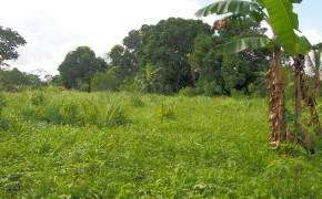 Four acres are cleared and planted with trees and pineapple.